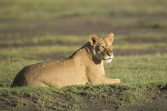 Afrykańska lwica w Tanzania (Panthera Leo) Zdjęcia Stock