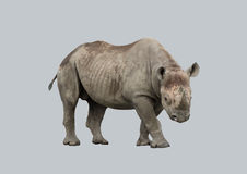 Afrykańska nosorożec na szarym tle Zdjęcia Stock