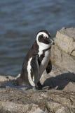 Afrykańska pingwin kolonia przy Betty Podpalanym Zachodnim przylądkiem Południowa Afryka Zdjęcie Royalty Free