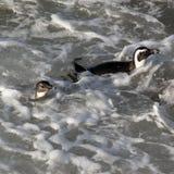 Afrykańska pingwin pozycja na rockowym Południowa Afryka Fotografia Stock
