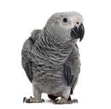 Afrykańska Popielata papuga (3 miesiąca starego) Zdjęcie Stock
