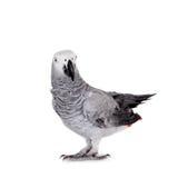 Afrykańska Popielata papuga, odizolowywająca na białym tle Zdjęcie Stock