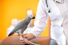 Afrykańska popielata papuga przy weterynarz kliniką Zdjęcia Royalty Free