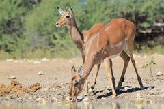 Afrykańska przyroda - Impala baran z jego matką Zdjęcia Royalty Free