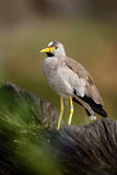 Afrykańska ptasia Wattled czajka, Vanellus senegallus z żółtym rachunkiem, Zdjęcie Stock