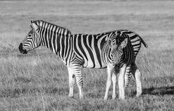 Afrykańska równiny zebra zdjęcia stock