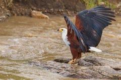Afrykańska Rybiego Eagle łapania ryba Zdjęcie Royalty Free