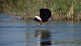 Afrykańska Rybiego Eagle łapania ryba Obraz Royalty Free