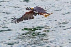Afrykańska Rybiego Eagle udźwigu ryba Od jeziora Fotografia Stock