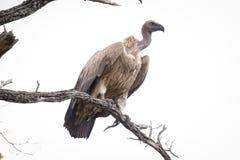 Afrykańska sęp pozycja na górze gałąź zdjęcie royalty free