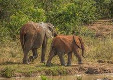 Afrykańska sawanna słonia matka z jej dzieckiem przy waterhole przy Hluhluwe iMfolozi parkiem Zdjęcie Royalty Free