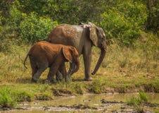 Afrykańska sawanna słonia matka z jej dzieckiem przy waterhole przy Hluhluwe iMfolozi parkiem Fotografia Stock
