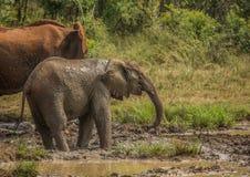 Afrykańska sawanna słonia matka z jej dzieckiem przy waterhole przy Hluhluwe iMfolozi parkiem Obrazy Stock