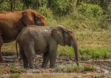 Afrykańska sawanna słonia matka z jej dzieckiem przy waterhole przy Hluhluwe iMfolozi parkiem Fotografia Royalty Free