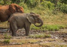 Afrykańska sawanna słonia matka z jej dzieckiem przy waterhole przy Hluhluwe iMfolozi parkiem Obraz Royalty Free
