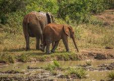 Afrykańska sawanna słonia matka z jej dzieckiem przy waterhole przy Hluhluwe iMfolozi parkiem Obraz Stock