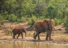 Afrykańska sawanna słonia matka z jej dzieckiem przy waterhole przy Hluhluwe iMfolozi parkiem Obrazy Royalty Free
