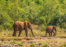 Afrykańska sawanna słonia matka z jej dzieckiem przy waterhole przy Hluhluwe iMfolozi parkiem Zdjęcia Royalty Free