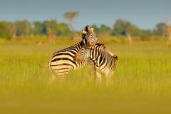 Afrykańska sawanna, zielony sezon Zebry bawić się w sawannie Dwa zebry w zielonej trawie, mokry sezon, Okavango delta, Moremi, zdjęcia royalty free