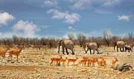 Afrykańska scena z wiele differnet zwierzętami na równinach w Etosha Zdjęcia Stock