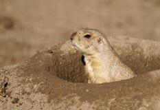 Afrykańska wiewiórka w dziurze Obrazy Royalty Free