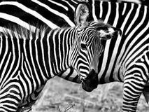 Afrykańska Zebra Obrazy Royalty Free