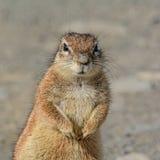 afrykańska zmielona południowa wiewiórka Zdjęcie Stock