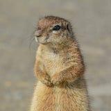 afrykańska zmielona południowa wiewiórka Obraz Royalty Free