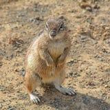 afrykańska zmielona południowa wiewiórka Zdjęcie Royalty Free