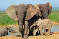 afrykański łydkowy słoń Fotografia Stock