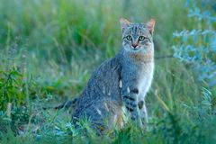 Afrykański żbik, Felis lybica, także nazwany Pobliski Wschodni Dziki kot Dzikie zwierzę w natury siedlisku, trawy łąka, Nxai niec obraz royalty free