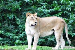afrykański żeński lew Fotografia Stock