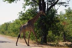 Afrykański żyrafy Kruger park narodowy samotnie w pustkowiu obraz royalty free
