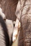 afrykański africana słonia loxodonta Obraz Royalty Free