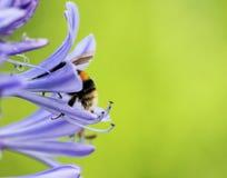 Afrykański agapanthus z mamrocze pszczoły (Agapathus africanus) Zdjęcie Stock