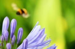 Afrykański agapanthus z mamrocze pszczoły (Agapathus africanus) Fotografia Stock