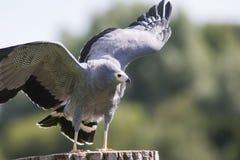 Afrykański błotniaka jastrzębia Polyboroides typus ptak zdobycz pozycja Obraz Stock
