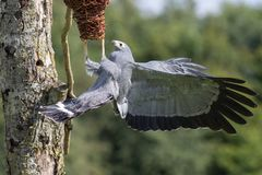 Afrykański błotniaka jastrzębia Polyboroides typus ptak zdobycza drapieżnik Obraz Royalty Free
