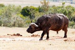 Afrykański Bawoli powstrzymywanie i wąchać powietrze Fotografia Stock