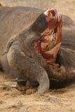 afrykański bawolia czaszki Zdjęcia Stock