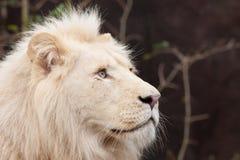 Afrykański biały lew Obraz Stock