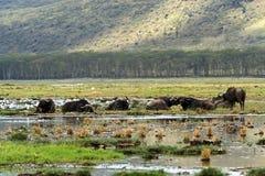 Afrykański bizon Zdjęcia Royalty Free