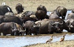Afrykański bizon Obraz Stock