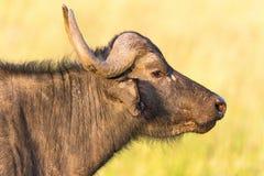 Afrykański bizon Zdjęcie Royalty Free