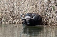 Afrykański bizon między płochami Obraz Stock