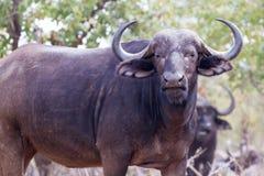 Afrykański bizon na grasującym Zdjęcie Stock