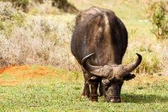 Afrykański bizon obwąchuje jego trawy je i Zdjęcie Stock