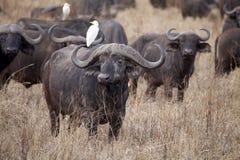 Afrykański bizon (Syncerus caffer) zdjęcia stock