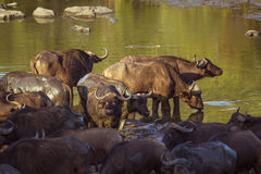 Afrykański bizon w Kruger parku narodowym, Południowa Afryka Zdjęcie Stock