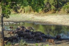Afrykański bizon w Kruger parku narodowym, Południowa Afryka Obraz Stock